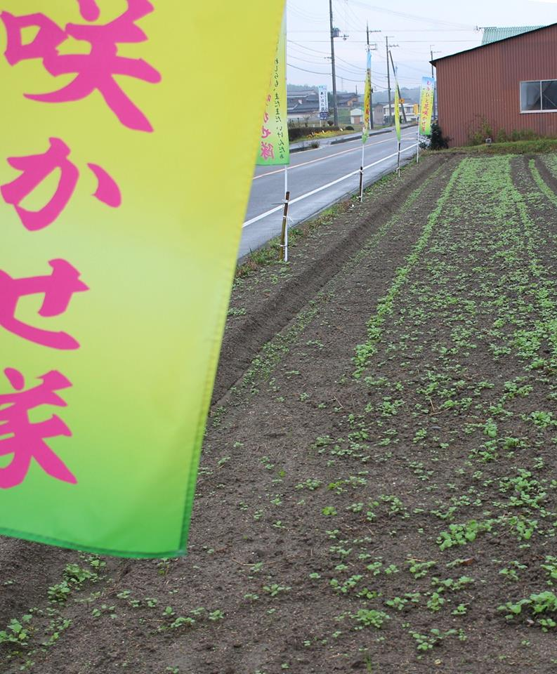 菜の花発芽状況