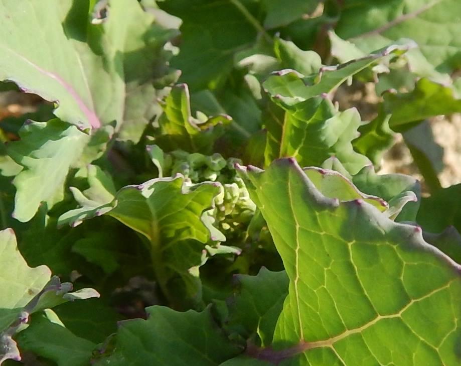 菜の花成長情報